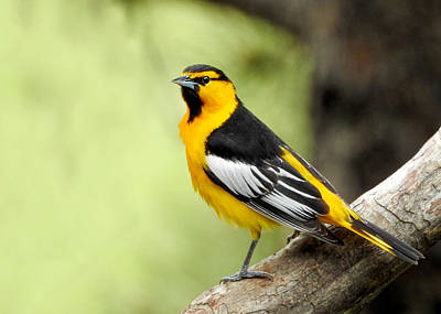 Designs Similar to Male Bullock's Oriole