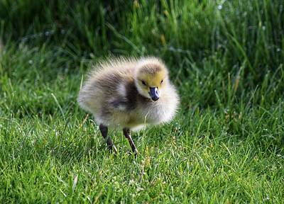 Designs Similar to Gosling In The Grass
