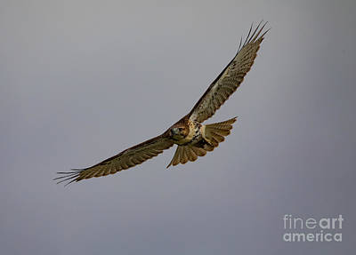 Designs Similar to Red Tail Hawk In Flight