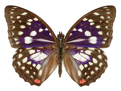 Designs Similar to Great Purple Butterfly