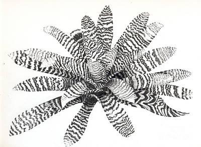 Vriesea Drawings