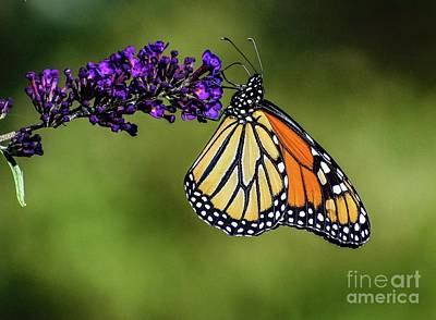 Designs Similar to Classy Monarch Butterfly