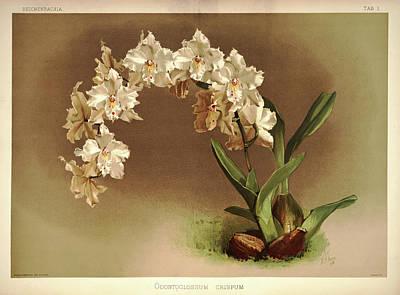 Designs Similar to Orchid, Odontoglossum Crispum