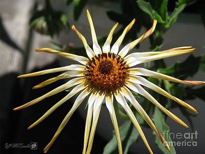 Designs Similar to Osteospermum Named African Moon