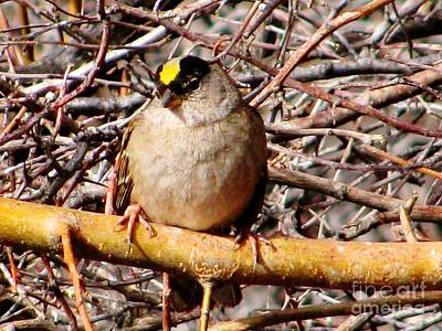 Designs Similar to Gold-crowned Sparrow