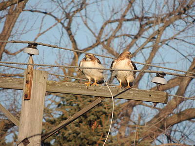 Two Hawks On A Telephone Pole Red Tail Art