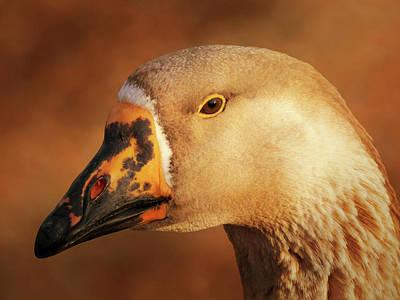 Goose Portrait Photographs