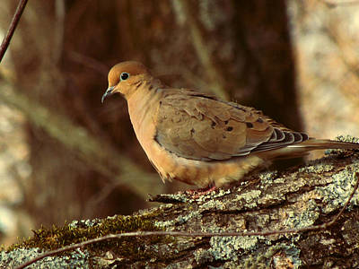 Mourning Dove Photographs