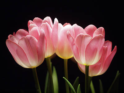 Designs Similar to Tulips For Tania