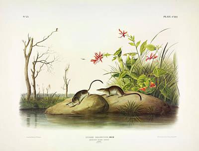 Designs Similar to American Marsh-shrew