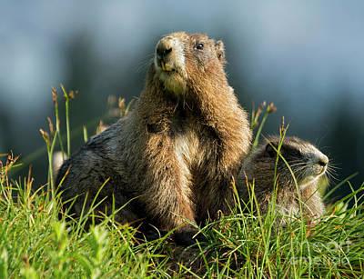 Marmot Photographs