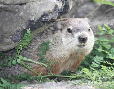 Groundhog Making Sure It Is Safe Photographs