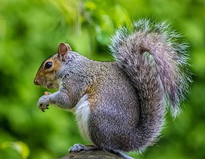 Eastern Grey Squirrel Prints