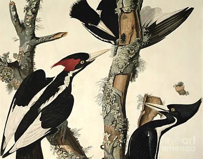 Woodpecker Drawings Prints