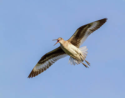 Designs Similar to Willet Flying In Blue Sky