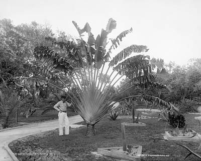 Designs Similar to Florida Traveller's Tree