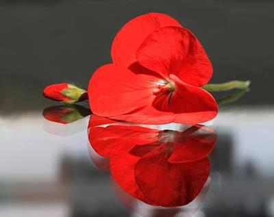 Red Geranium Reflected. Mirror Image Of Geranium Flower Prints