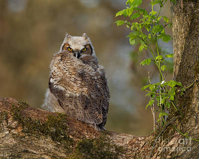 Designs Similar to Great Horned Owlet
