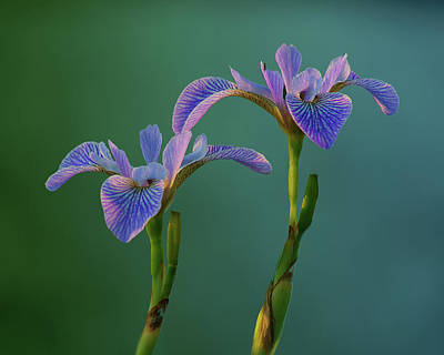 Designs Similar to Water Iris by Nikolyn McDonald