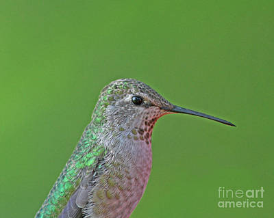 Designs Similar to Anna's Hummingbird by Gary Wing