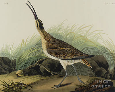 Designs Similar to Great Esquimaux Curlew, 1835