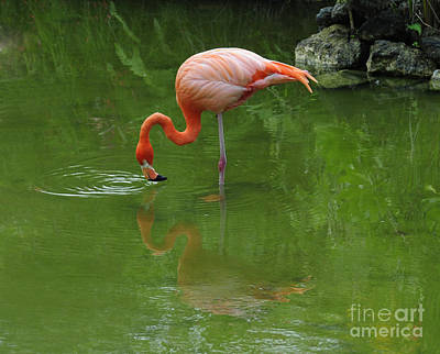 Pink Flamingo Feeding In Pond With Reflection And Ripples In Water Prints