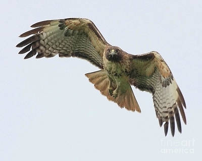 Designs Similar to Red Tailed Hawk Finds Its Prey