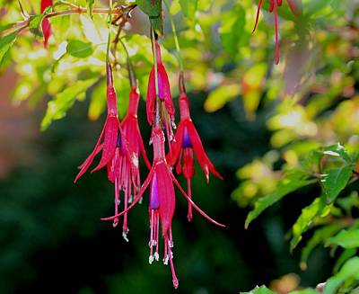 Fuchsia Photographs Original Artwork