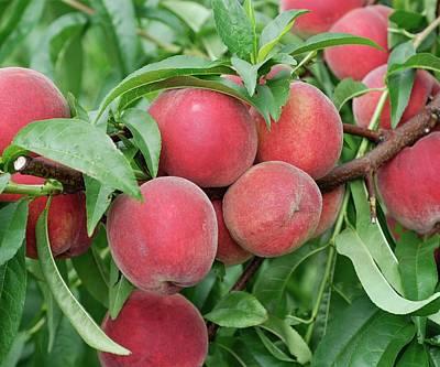 Designs Similar to Peach (prunus Persica 'elma')