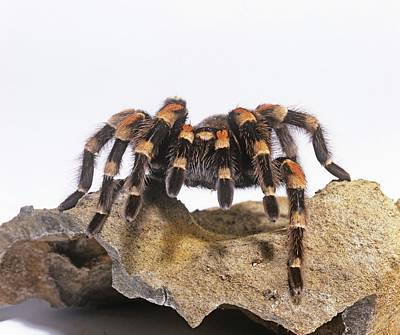 Designs Similar to Mexican Red-knee Tarantula