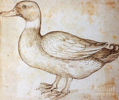 Duck Drawings