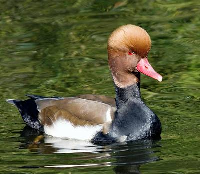 Red-crested Pochard Photographs