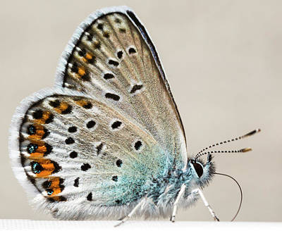 Designs Similar to Adonis Blue Butterfly