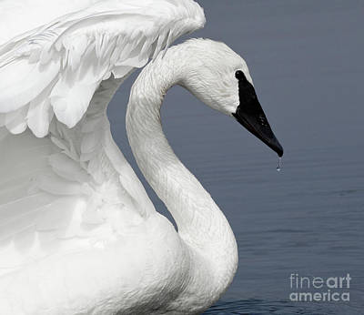 Designs Similar to Trumpeter Swan Delight