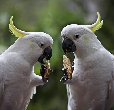 Designs Similar to Sulphur Crested Cockatoo Pair