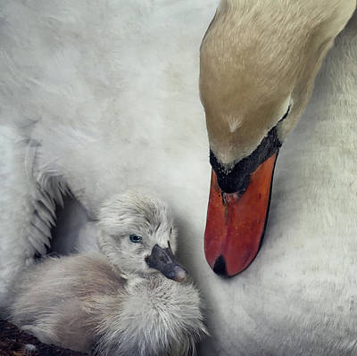 Swan Art Prints