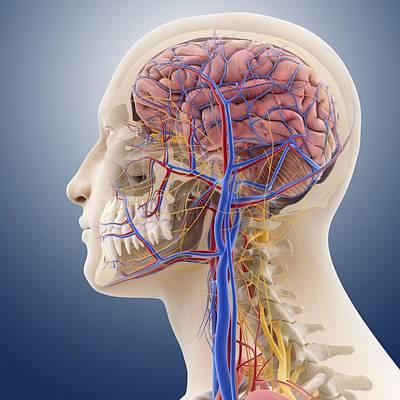 Lesser Occipital Nerve Art | Fine Art America