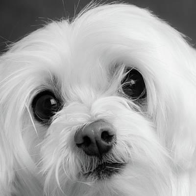 Designs Similar to Portrait Of A Maltese Dog