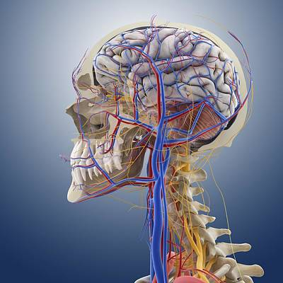 Lesser Occipital Nerve Prints   Fine Art America