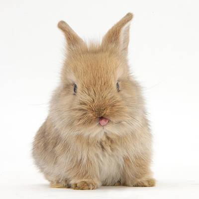 Designs Similar to Lionhead-cross Rabbit