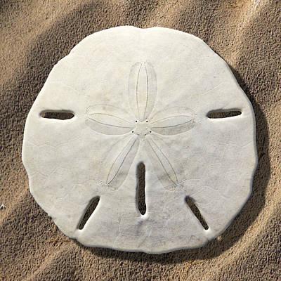Sand Dollar Art