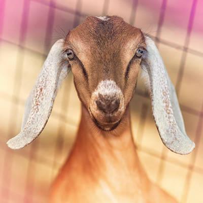 Goats Prints