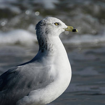 Designs Similar to Portrait Of A Ring-billed Gull