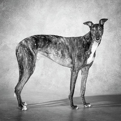 Designs Similar to Portrait Of A Greyhound Dog