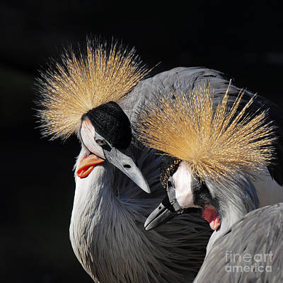 Designs Similar to Duo Of Crowned Cranes On A Dark