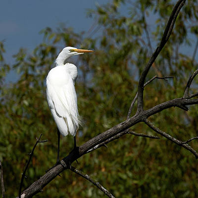 Designs Similar to Egret Perched by Paul Freidlund