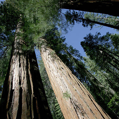 Designs Similar to Giant Sequoia Of Yosemite