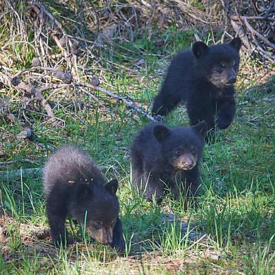 Designs Similar to Three Black Bear Cubs