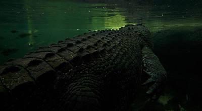 Gators Photographs