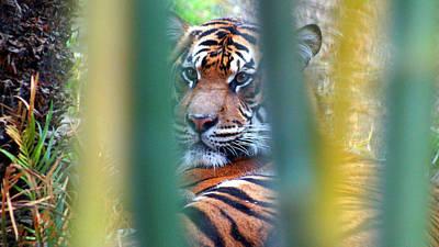 Photograph - Tiger Bamboo by Todd Hummel